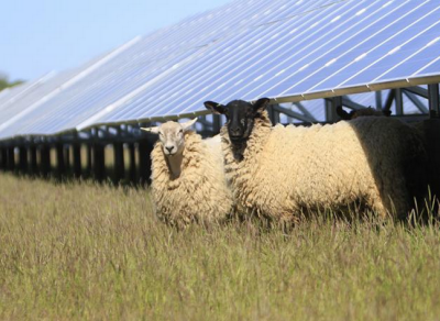 Sheep could still graze among the solar panels