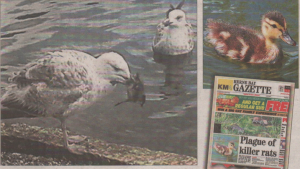 Amy Barfoot's photographic evidence of a gull seizing a duckling in Herne Bay Memorial Park; right, how we reported the plague of rats, and one of the few remaining ducklings